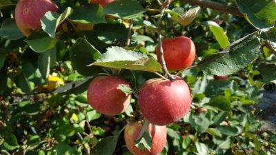Oxclusivia Äpfel 2018 01 (1)